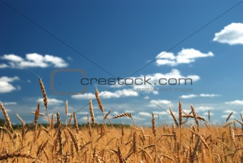 A wheat field against a blue sky