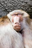 baboon sleeping