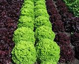 different lettuces growing in a garden