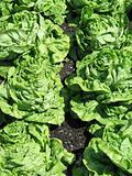 fresh green lettuce in a garden