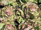 fresh green and red lettuce in a garden