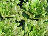 fresh green lettuce in a garden