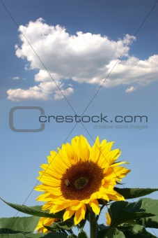 Sunflower with a bee in front of a cloud