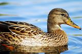 Mallard Duck Swimming in water.Isolated