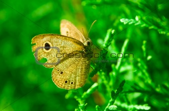 Beautiful Brown Butterfly