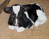 Day Old Calf