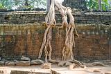 tree root on the wall, Ta Prohm temple, Angkor, Cambodia