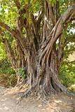 tree, Cambodia