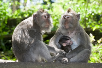 Monkey family - long tailed macaques