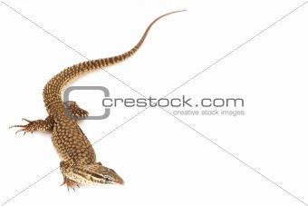 Ackie Monitor Lizard (Varanus acanthuras)