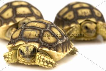 African Spurred Tortoises