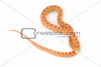 Albino Gopher Snake