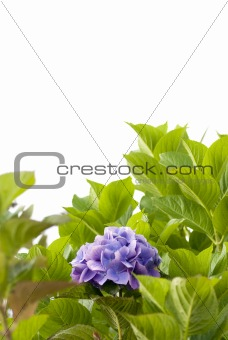 Hydrangea isolated over white background