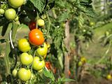 Unripe tomatoes