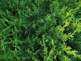 pine needles fir