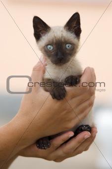 Precious little Siamese cat