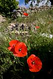 wild poppy flowers in spring