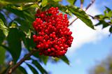 The Red elderberry.