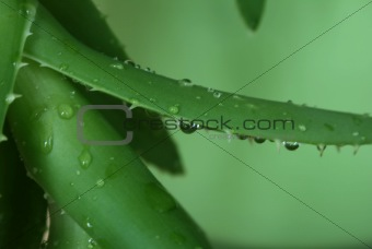Aloe with water drops on a green background