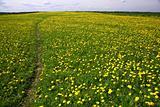 dandelion landscape
