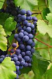 Grape - 1