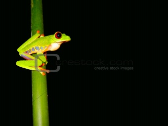red eyed tree frog sitting on a twig ready to jump