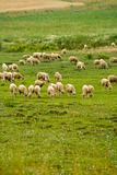 sheep group on the meadow
