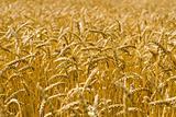 Ripe wheat spikes