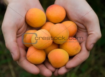 apricots in hands