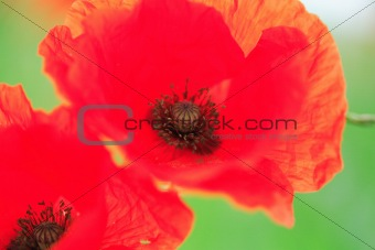 Close up poppies