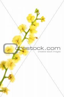 Wattle - globular inflorescence closeup