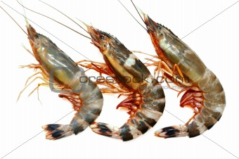 Three prawns