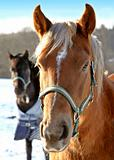 Brown thoroughbred horses