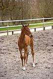 Brown thoroughbred filly