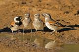 Cape sparrows