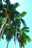 Pinang Palm Tree