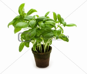 fresh basil on white background