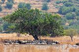 Sheep Under the Tree