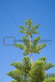 araucaria tree and blue sky