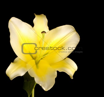 Beautiful white-yellow lily