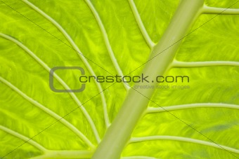 Alocasia leaf