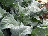 Kale leaves in garden with water drops