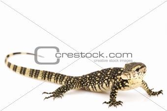 Asian Water Monitor Lizard (Varanus salvator)