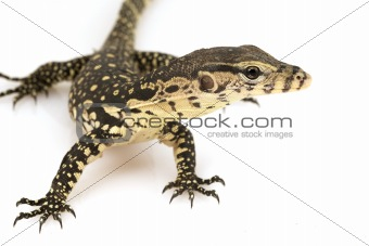 Asian Water Monitor Lizard (Varanus salvator)