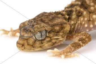 Centralian Rough Knob-tailed Gecko