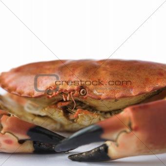 Close up of a brown crab