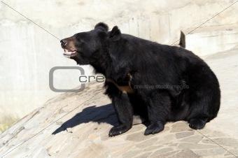 Black moon bear