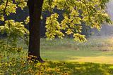 Walnut tree in the Morning