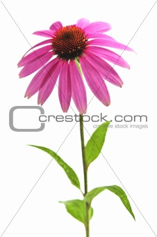 Echinacea purpurea plant