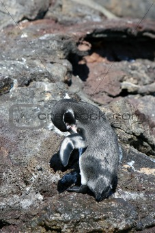 Grooming Penguin